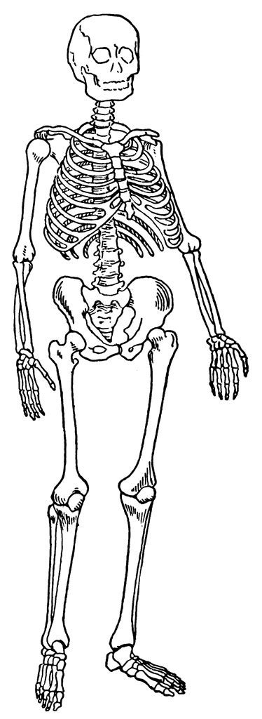 skeleton clipart skeletal