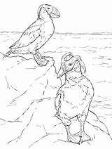 Coloring Tufted Puffins Printable sketch template