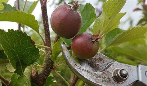 Get The Best Topfruit Harvest  Thinning Fruit Trees