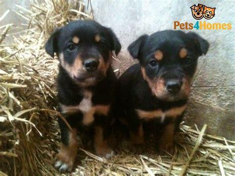 Kelpie X Huntaway Puppies For Sale Hereford Herefordshire Petshomes