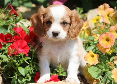 benji cavachon puppy  sale keystone puppies