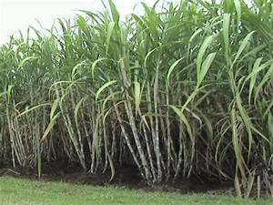 Sugarcane Crop Farming Punjab | Apni Kheti