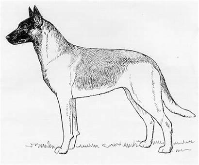 Belgian Dog Shepherd Malinois Groenendael Tervueren
