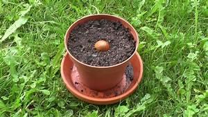 Aprikosenbaum Selber Ziehen : tropenpflanzen aus samen ziehen die avokado youtube ~ A.2002-acura-tl-radio.info Haus und Dekorationen