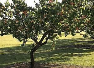 Taille De L Abricotier : la taille en douceur de l 39 abricotier de plein vent ~ Dode.kayakingforconservation.com Idées de Décoration