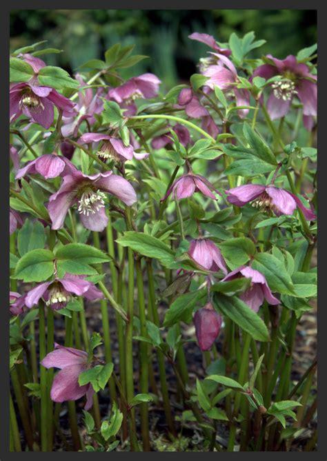 hellebores when to plant helleborus hellebore rosemoor spring sophie dixon