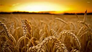 Wheat at sunset wallpaper - Photography wallpapers - #35108