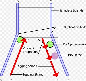 Dna Replication Okazaki Fragments Dna Polymerase Telomere