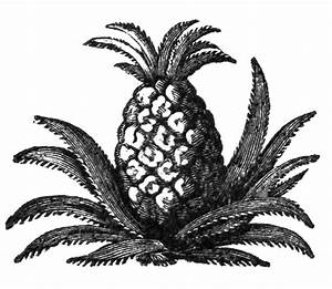 Vintage Clip Art Pineapple Illustration - The Graffical Muse