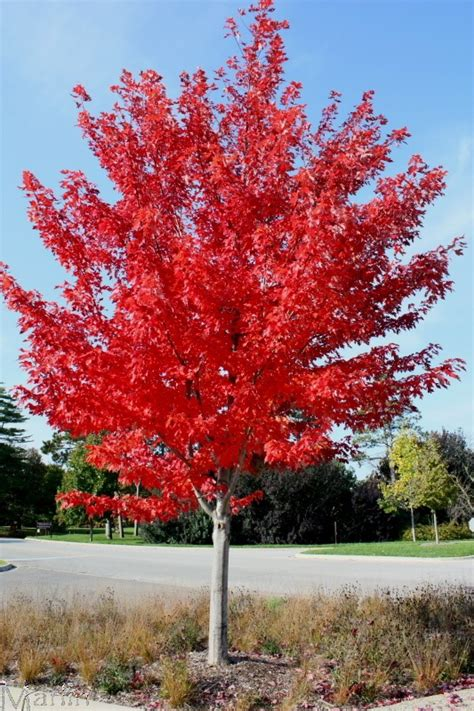 autumn blaze maple 7 best images about autumn blaze maple on pinterest trees beautiful and seasons