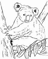 Koala Coloring Pages Bears Bear Cute Colouring Printable Print Drawing Printables Pdf Awesome Getdrawings Category Samanthasbell Getcolorings Popular sketch template