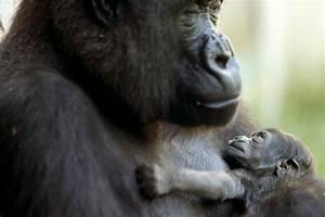 Help the Zoo Name a Baby Gorilla! | Philadelphia Real ...  Baby