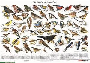 Heimische Singvögel Bilder : lehrmittel lehrtafel einheimische singv gel als poster 80082 0 schr ~ Whattoseeinmadrid.com Haus und Dekorationen