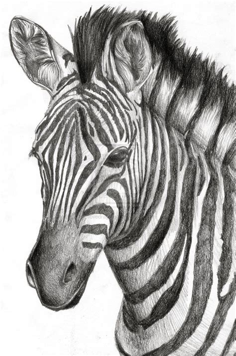 zebra drawing  drew   friends graduation present