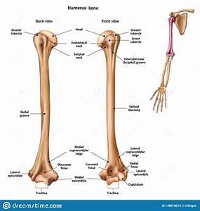 Humerus Anatomy Royalty
