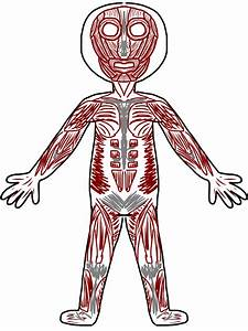 Skeletal Muscle Clip Art - ClipArt Best
