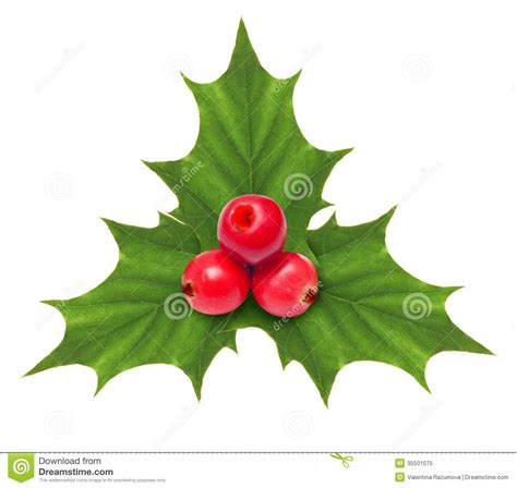 holly berry christmas decoration isolated royalty