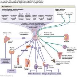 Endocrine System Diagram To Label For Kids