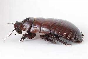 A Giant Burrowing Cockroach On White Photograph by Brooke ...