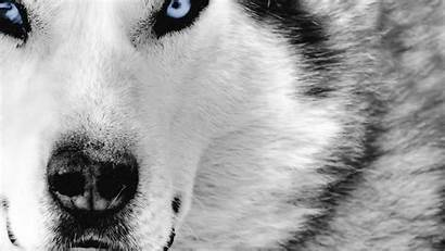 Animals Animal Wallpapers Desktop Dog Cool Wolf