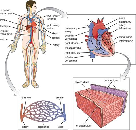 major organs   circulatory system