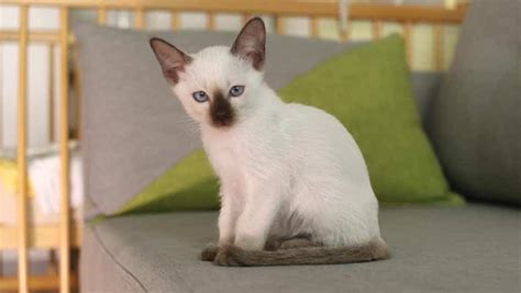 siamese cat much cost does cats kitten