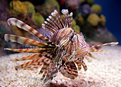lionfish fish invasion bahamas lion spiny venomous kill reef invading florida threatens spreading hunters population funny quarters three help they