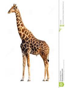 Giraffe Chair giraffe isolated stock photos image 12314083