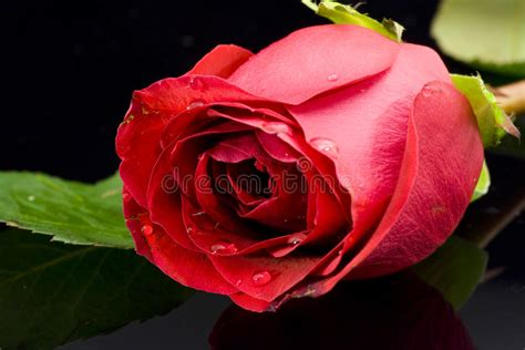 foto de Rose Rouge Sur Le Fond Noir Photo stock Image du macro