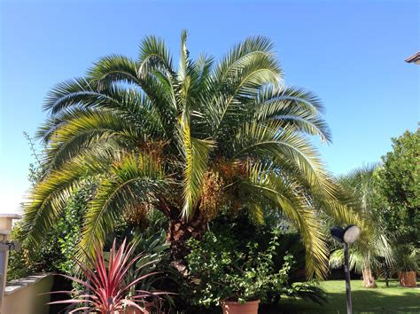 Phoenix canariensis with Yellow leaves - FORUM BASICS FOR BEGINNERS - PalmTalk