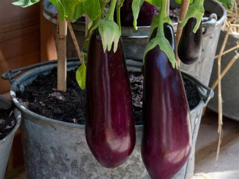 10 Tips To Growing Eggplant In A Pot Or Container The