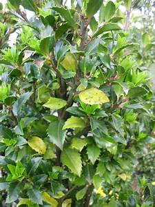 Hortensien Blätter Werden Braun Frost : bl tter an ilex stechpalme verf rben sich ursache ~ Lizthompson.info Haus und Dekorationen