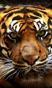 Tiger eyes staring - canon powershot SI IS | Spangles44 ...