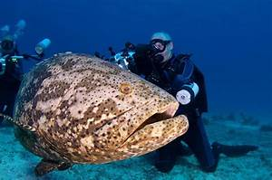Lak-ai: The Biggest Grouper in the Family - Giant Grouper ...