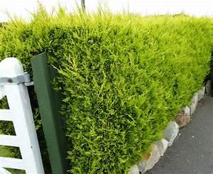 Haie Pas Cher Qui Pousse Vite : beautiful haie de jardin a croissance rapide photos ~ Premium-room.com Idées de Décoration