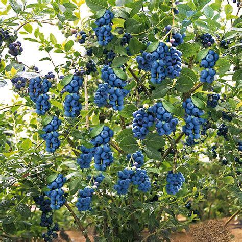 Heidelbeere Im Garten Pflanzen by Trauben Heidelbeere Blue Berry 174 Kaufen Bei Ahrens