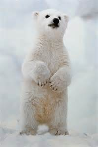 Baby Polar Bear Standing Up