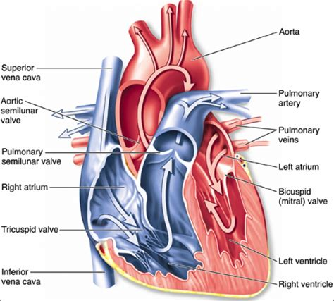 structure  circulatory system relevant content