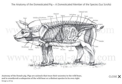 Female Pig Anatomy Veterinary Pinterest Pigs Search