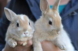 Light Brown Netherland Dwarf Bunnies - Pics about space