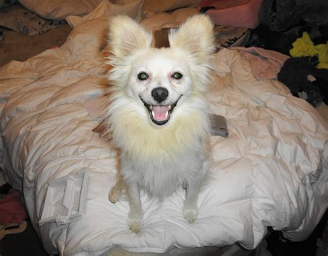 American Eskimo Shedding by My American Eskimo Before Yelp