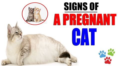 signs   pregnant cat   give birth