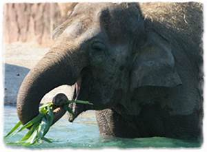 An Asian elephant at Busch Gardens Tampa Bay eating a palm ...