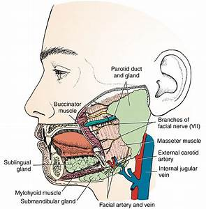 15  Salivary Glands And Tonsils