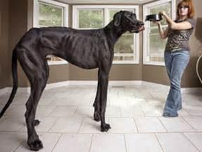 panorama guinness buch der größte hund der welt und andere rekorde badische zeitung de