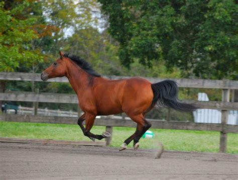 quarter horse breed uses characteristics origin its breeds quarterhorse history furlongs sprinting agility known speed five flickr
