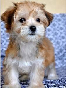#morkie #dogs #cute   Morkies   Pinterest