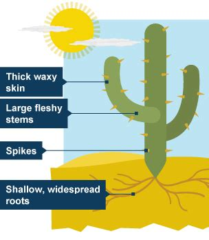 Diagram Of Saguaro Cactu by Bitesize Ks3 Geography Desert Biomes Revision 2
