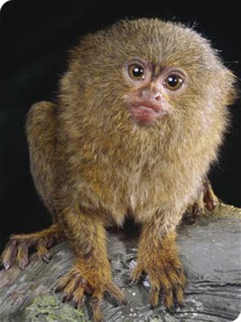 small monkey breeds marmoset monkey fun animals wiki videos pictures stories
