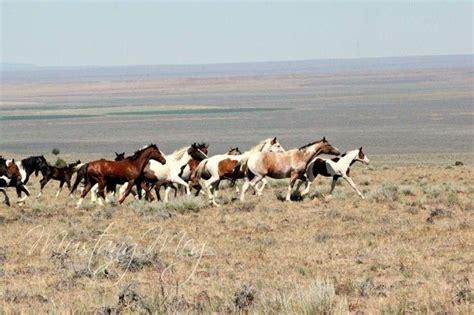 horses predators wild horse mustang running feral faster natural meg sonya loose varied larger spaziani